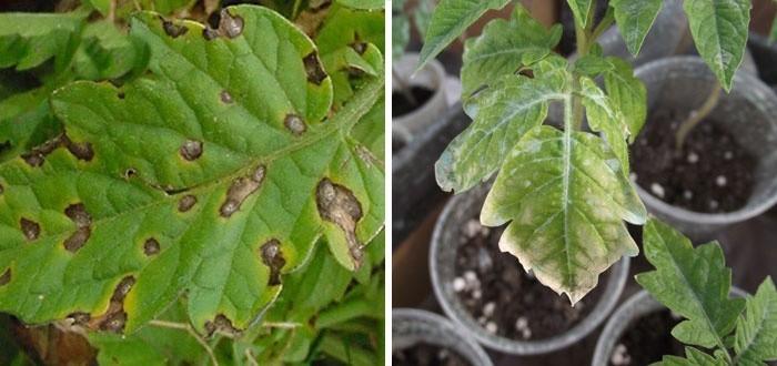 Заболевания рассады томатов в домашних условиях