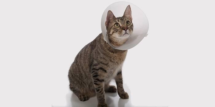 Кот после хирургического лечения мочекаменной болезни